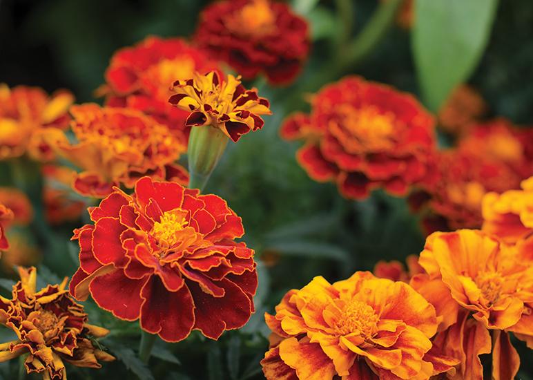 5 Bug Repellent Plants Charlotte Magazine